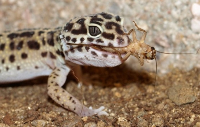 Opinion you Pics of adult leopard geckos reply