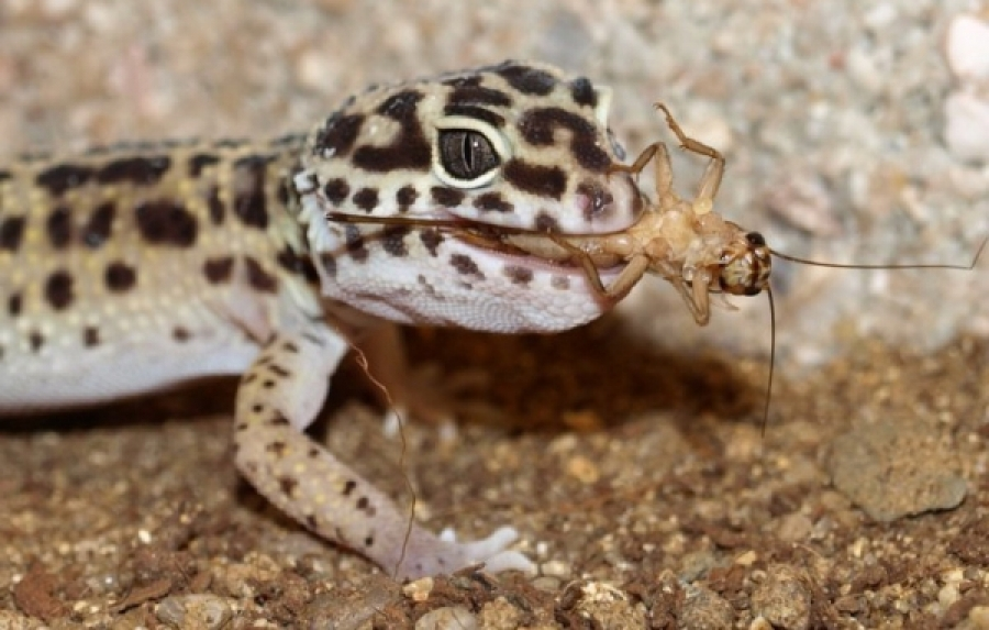 Can Leopard Gecko Eat Crested Food