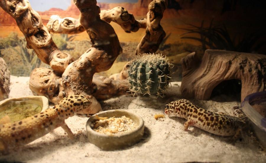 procedures of housing several leopard geckos leopard gecko care
