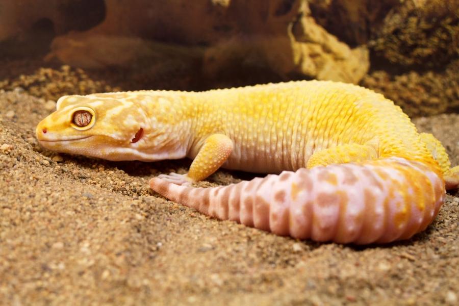 Leopard Gecko Care