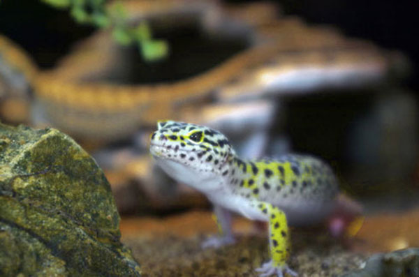 3 Factors To Consider When Lighting Your Leopard Gecko Cage