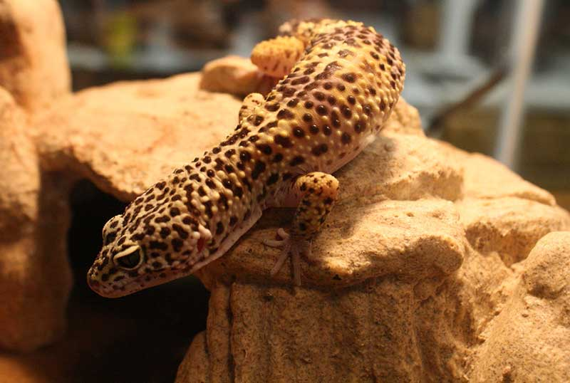 the different types of leopard geckos leopard gecko care